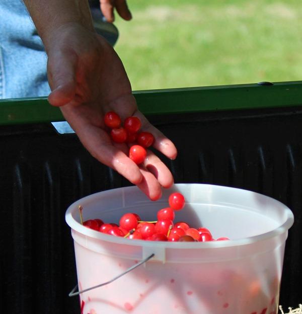 cherries in bucket
